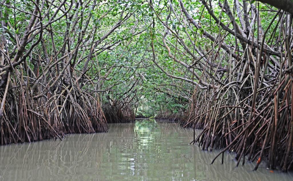 Mangroves, Tangalle Lagoon, Sri Lanka