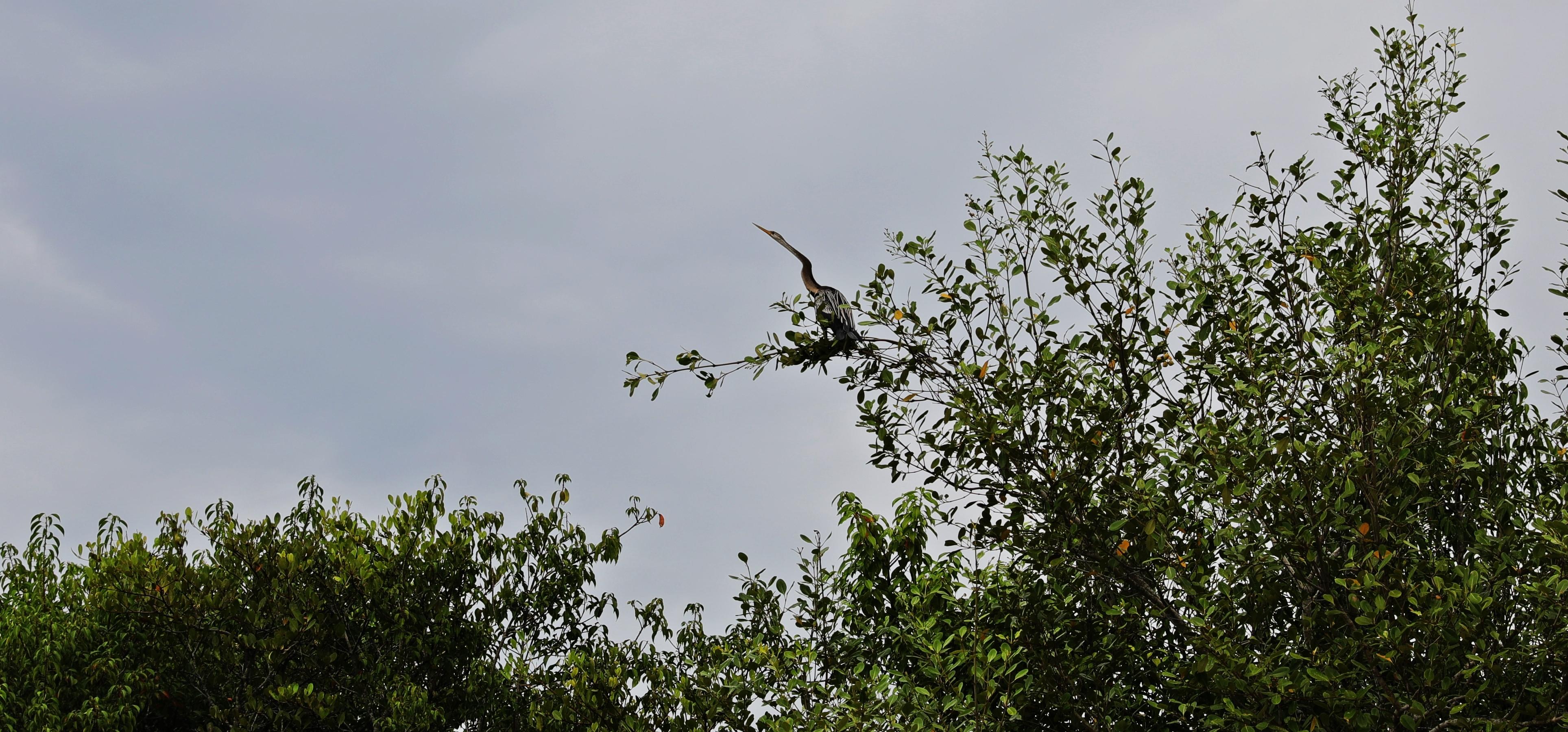 Cormorant, Tangalle Lagoon, Sri Lanka