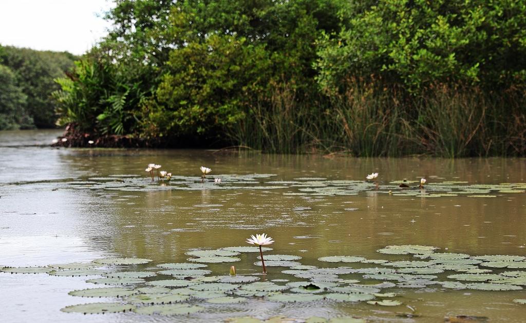 Lotus flowers, Tangalle lagoon, Sri Lanka