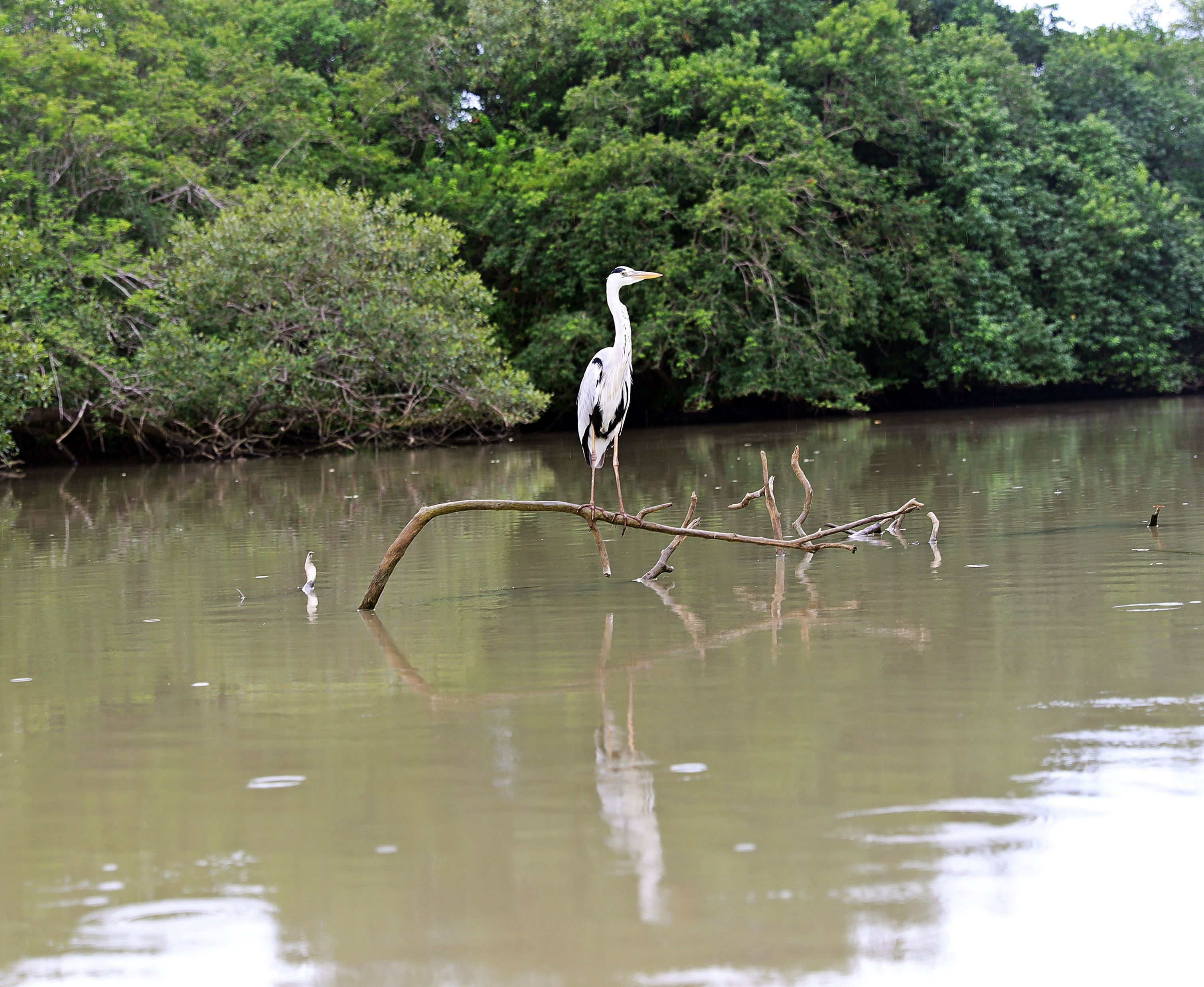 Water bird, Tangalle lagoon