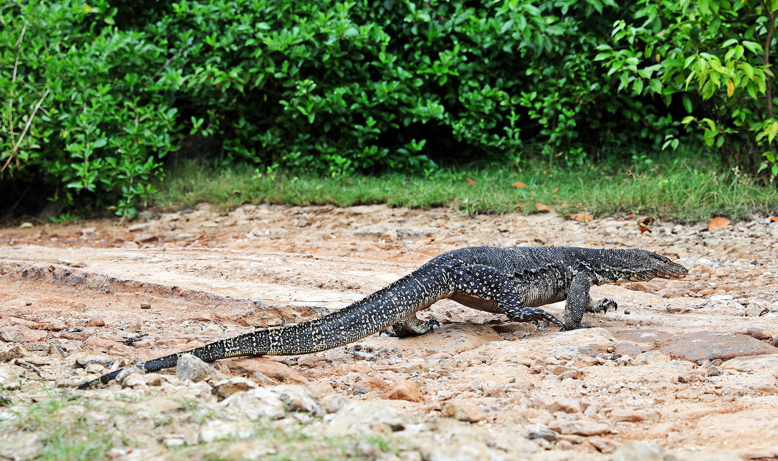 Water Monitor lizard, Tangalle lagoon