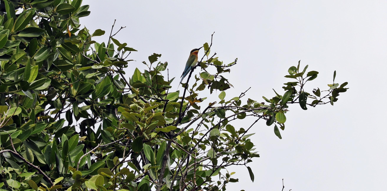 Bee-eater, Tangalle lagoon, Sri Lanka