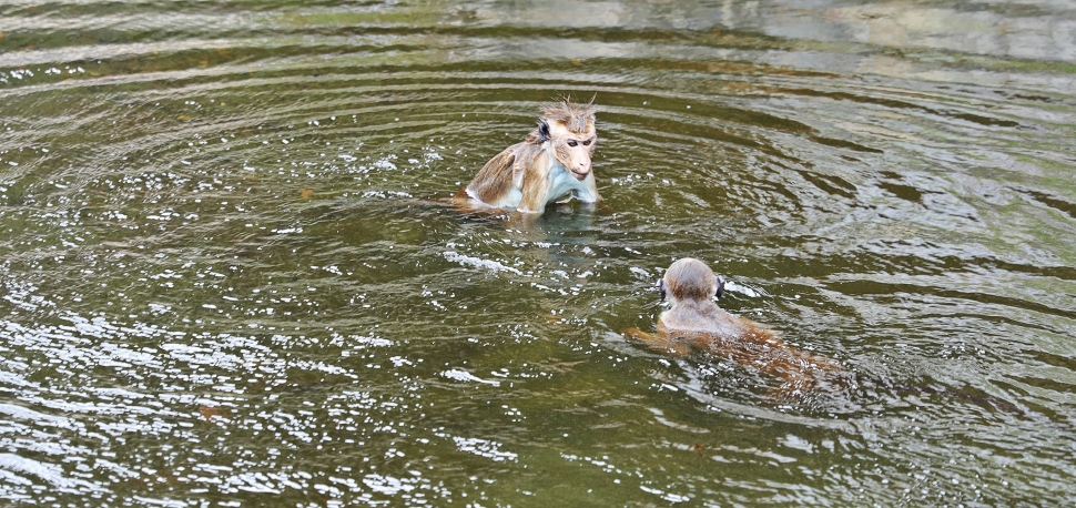 Toque Macaques fighting in the pond, Mulkirigala Raja Maha Vihara Temple