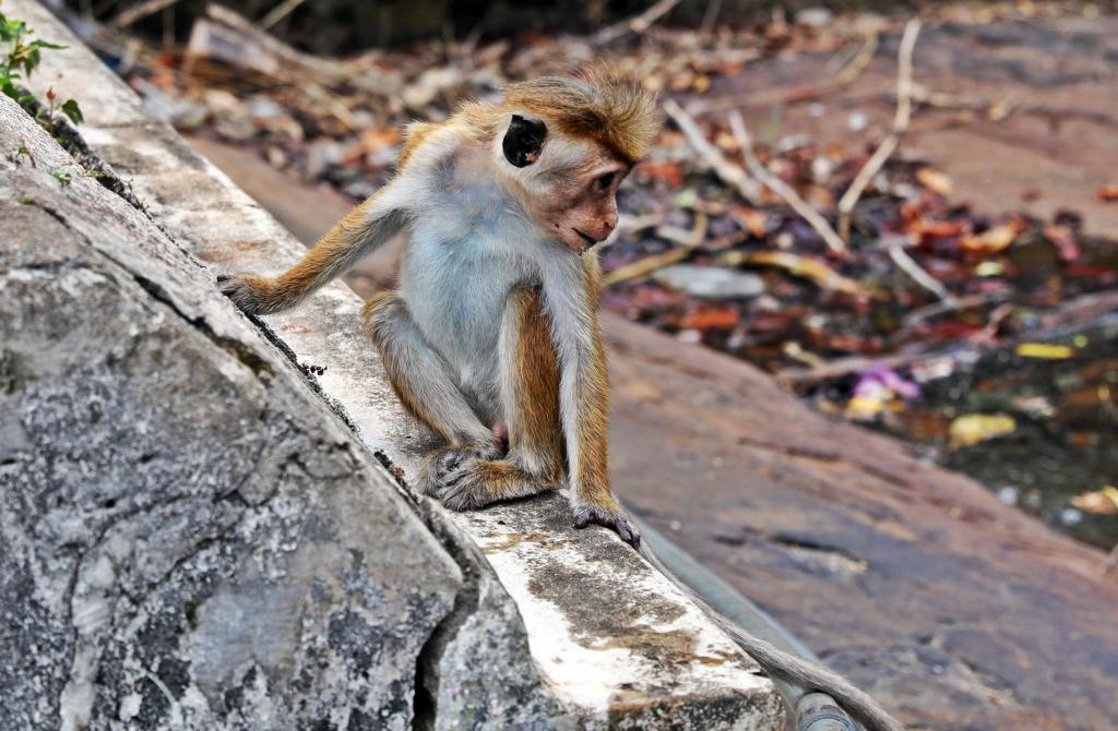 Toque Macaque, Mulkirigala Raja Maha Vihara Temple