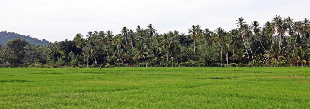 Rice paddies near Tangalle, Sri Lanka