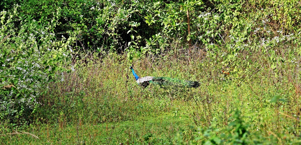Peacock, Tangalle, Sri Lanka