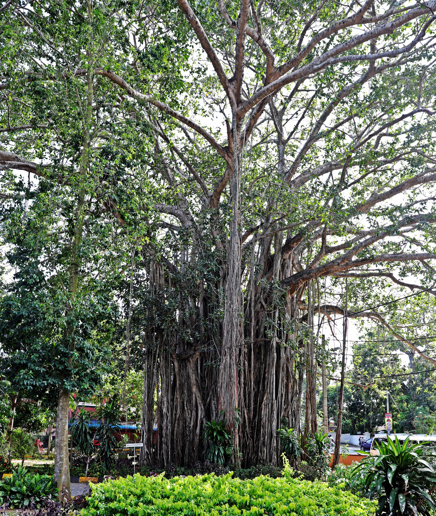 Large fig tree, Tangalle, Sri Lanka