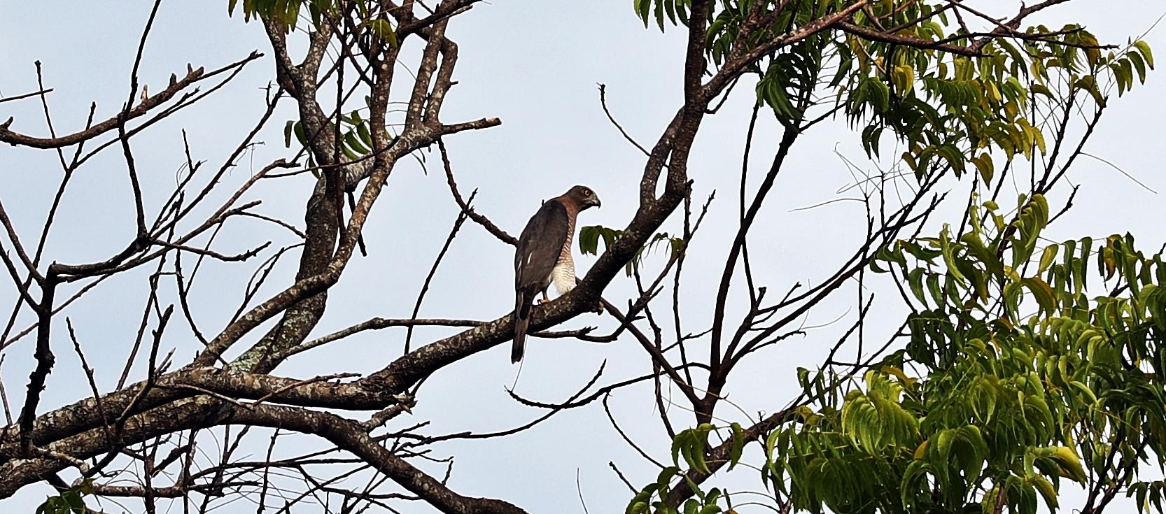 Hawk, Tangalle, Sri Lanka