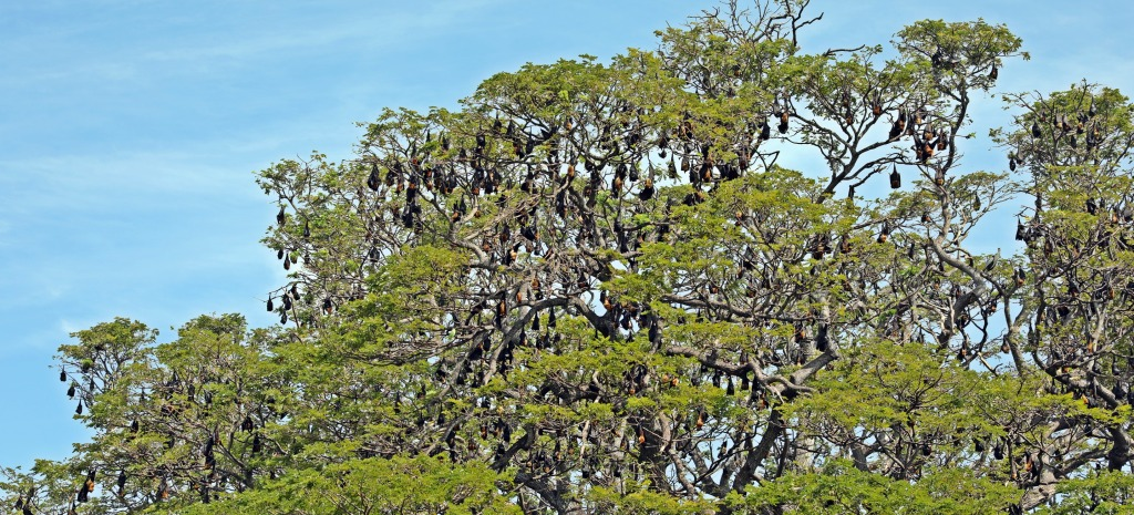Fruit bats, Tissamaharama, Sri Lanka