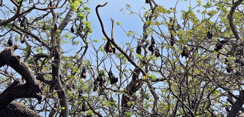 Fruit bats, Tissamaharama