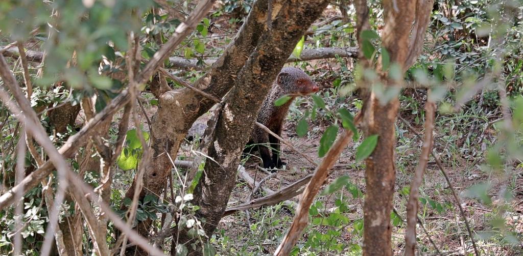 Mongoose, Yala National Park