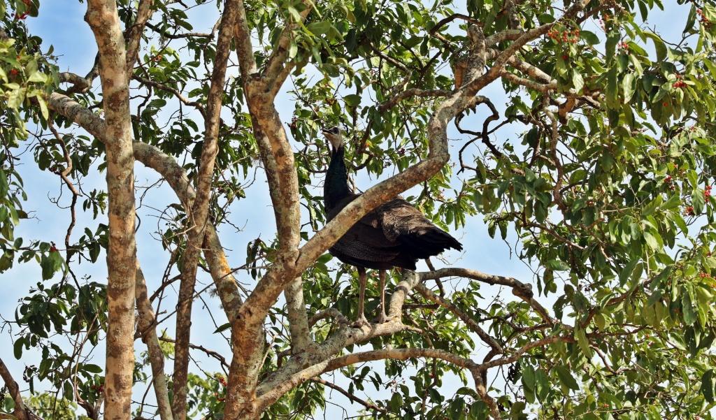 Female Peacock, Yala National Park