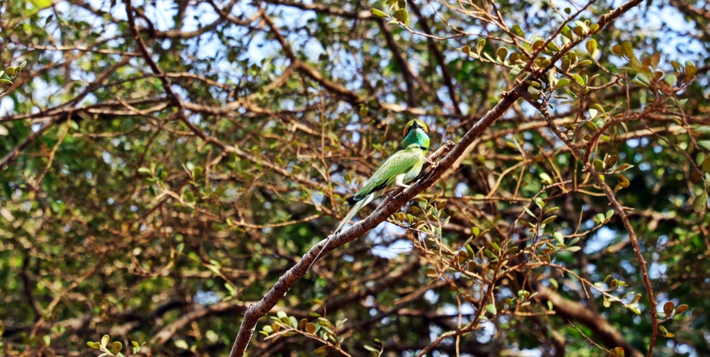 Bee-eater, Yala National Park