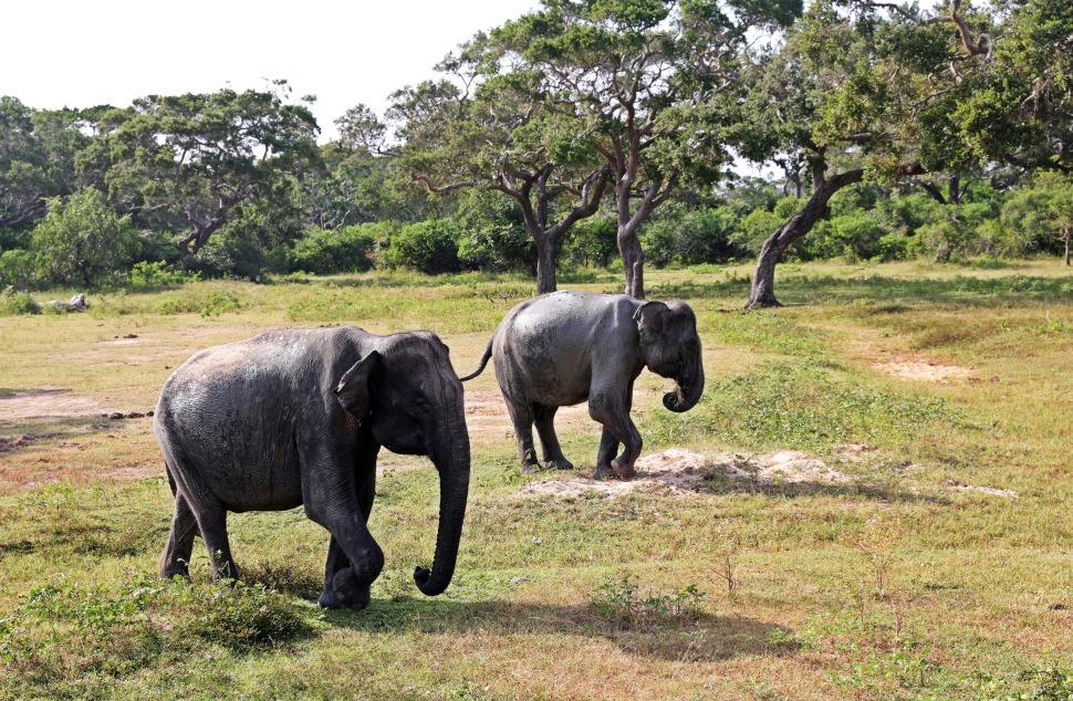 Elephants, Yala National Park