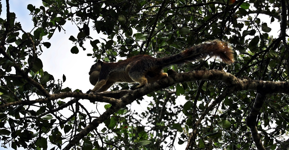 Grizzled Giant Squirrel with fruit in its mouth, Yala National Park
