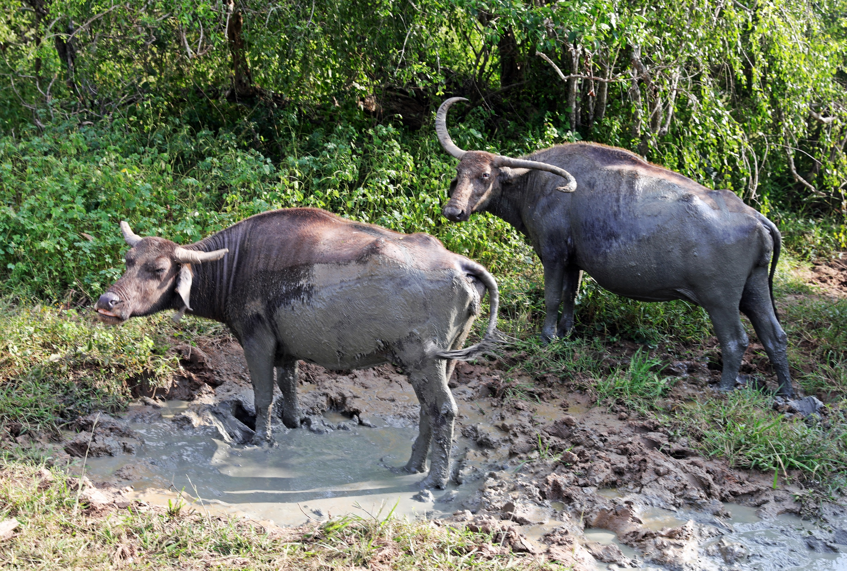 Water Buffalo with crazy horns, Yala National Park