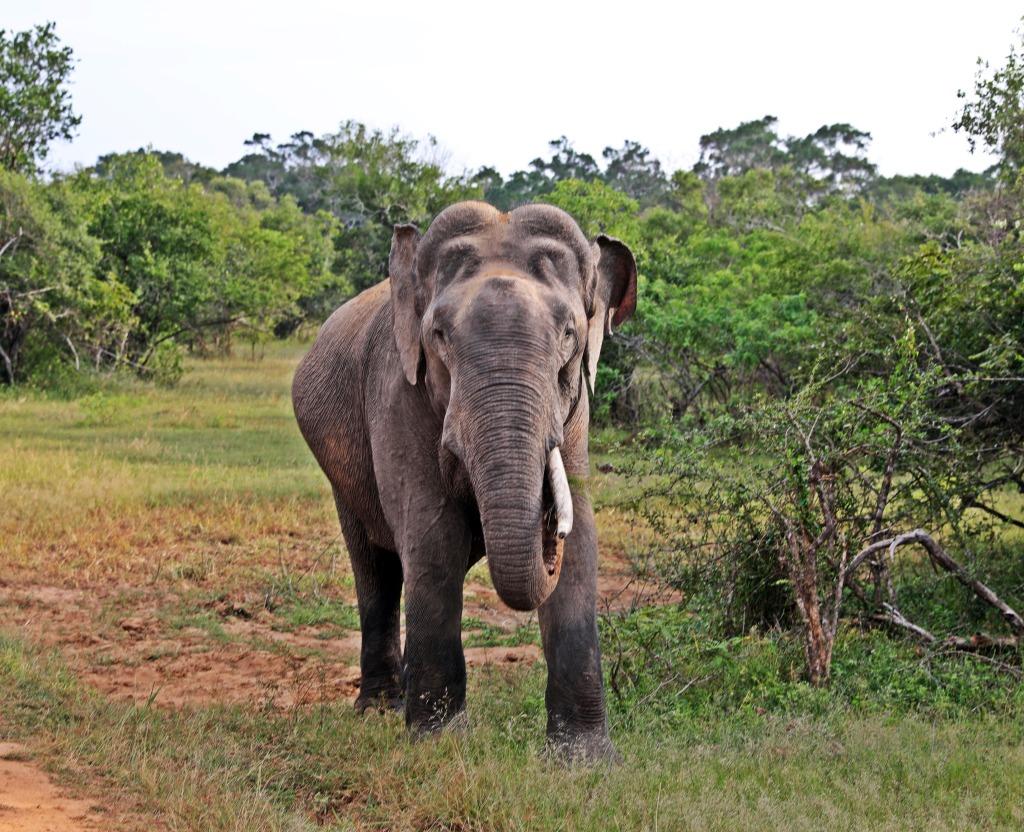 Elephant, Yala National Park