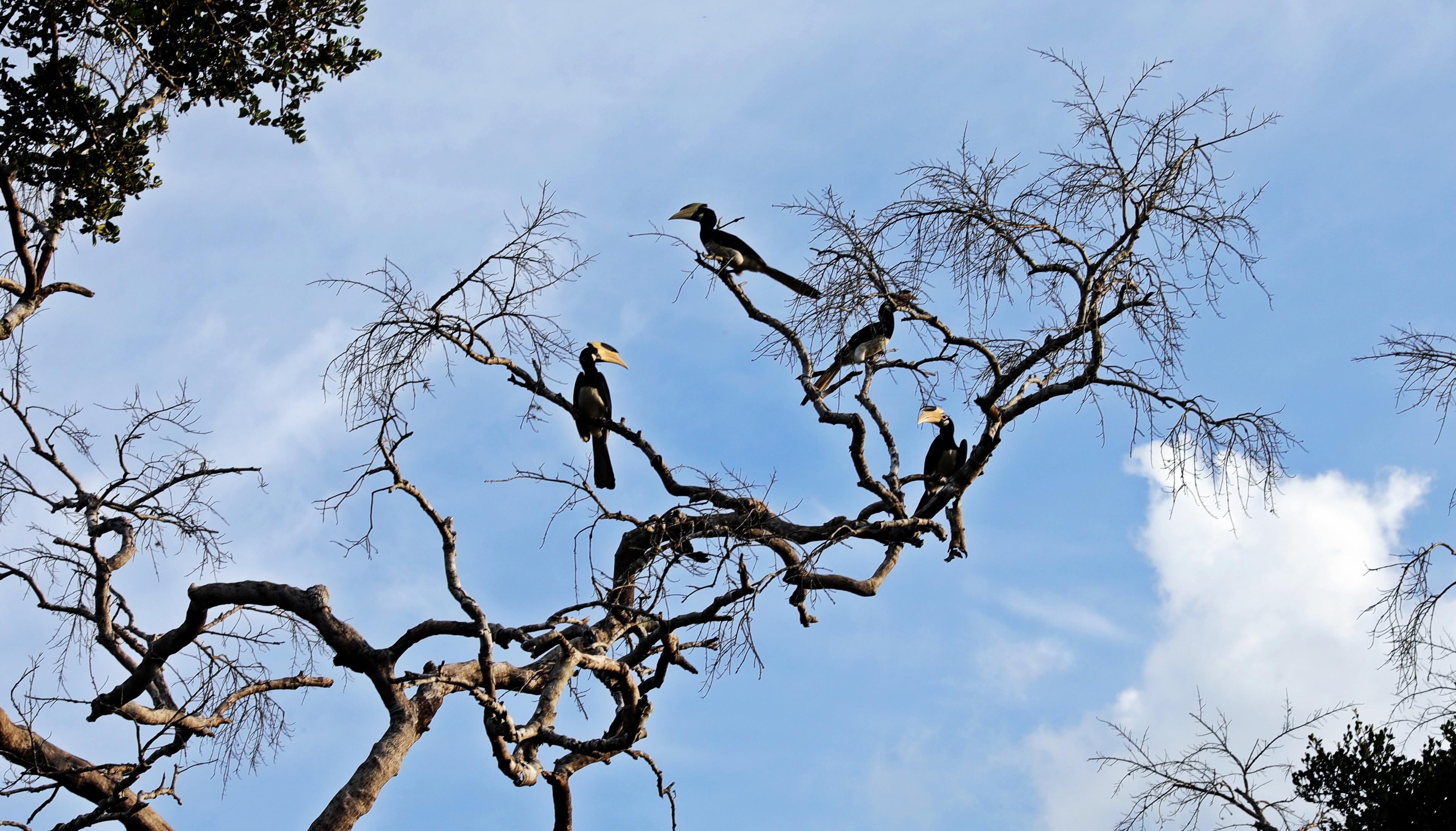 Malabar Pied Hornbills, Yala National Park