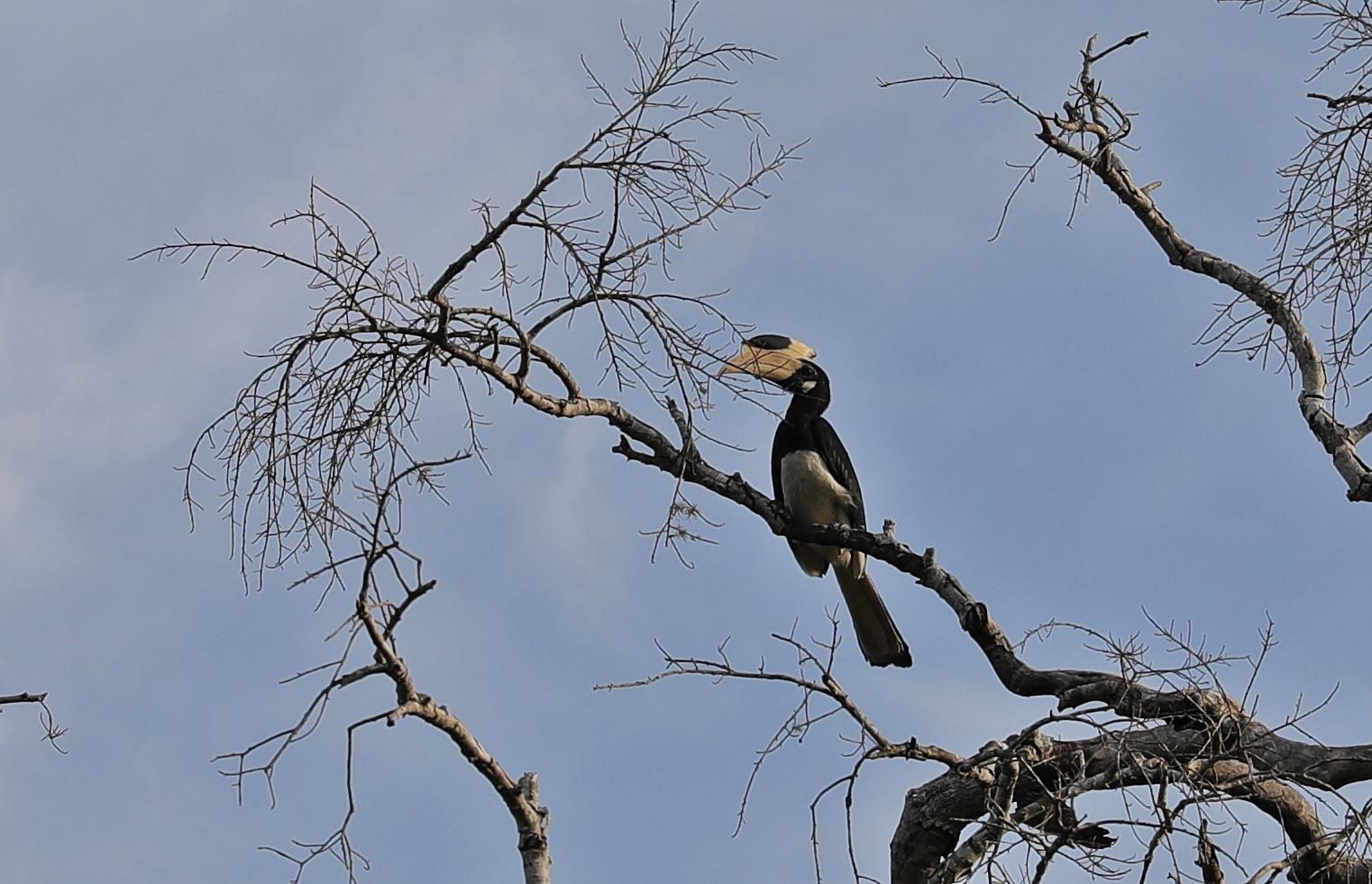 Malabar Pied Hornbill, Yala National Park