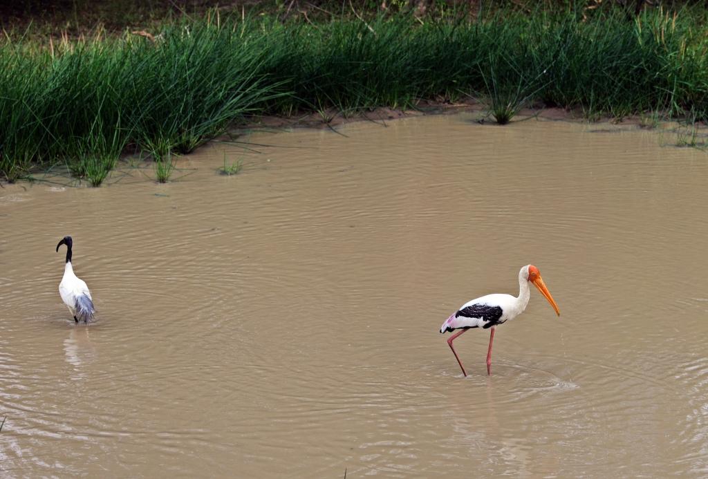 Painted Stork, Yala National Park