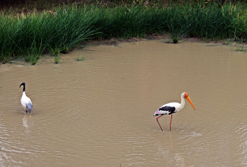 Painted Stork, Yala National Park