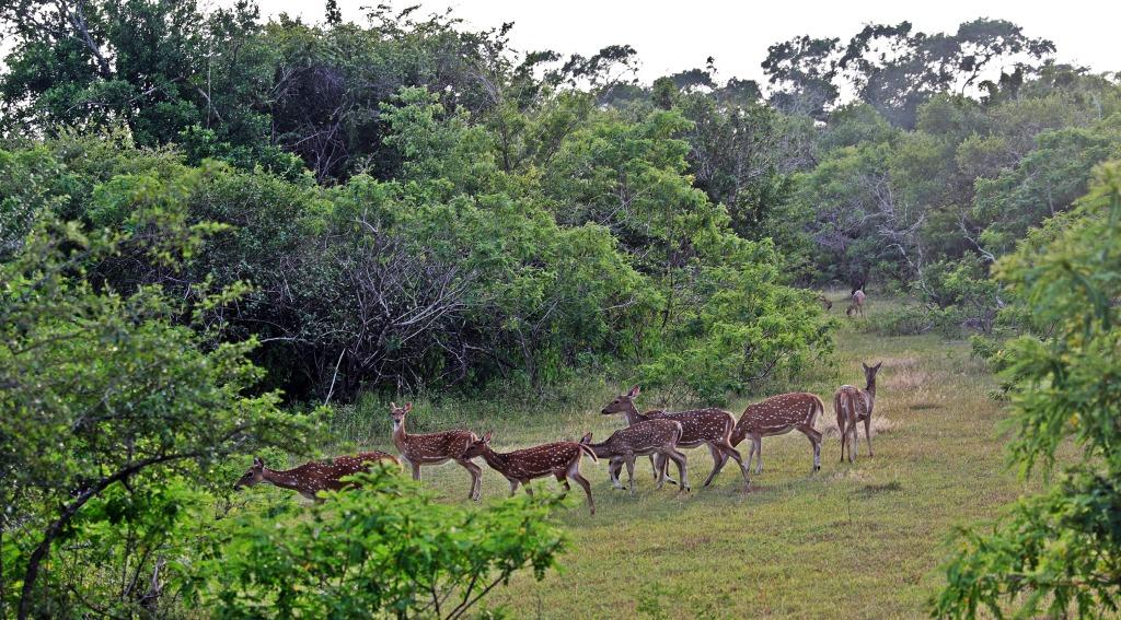Spotted Deer, Yala National Park