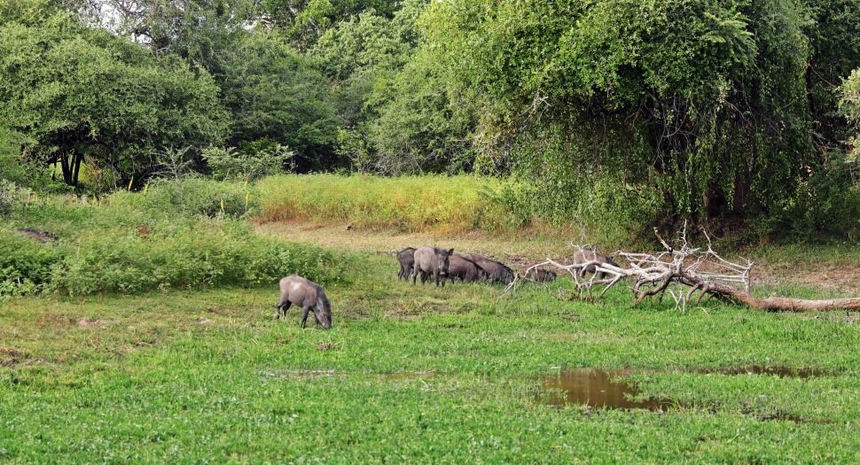 Wild Boars, Yala National Park