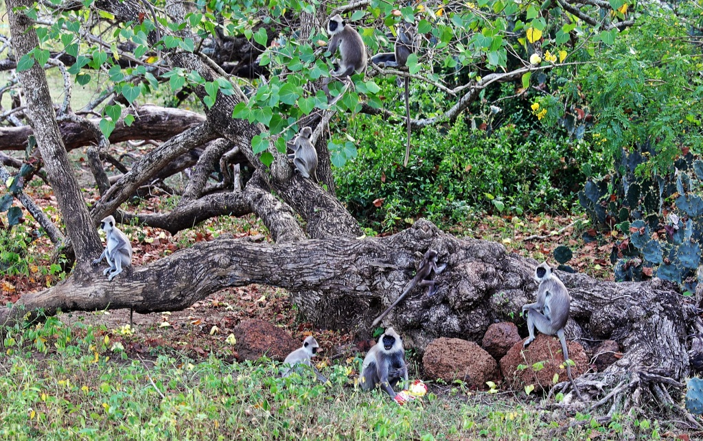 Grey Langur Monkeys, Yala National Park