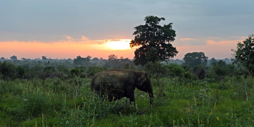 Elephant at sunrise, Uda Walawe National Park