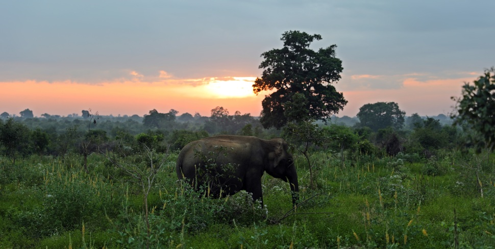 Elephant at sunrise, Uda Walawe National Park