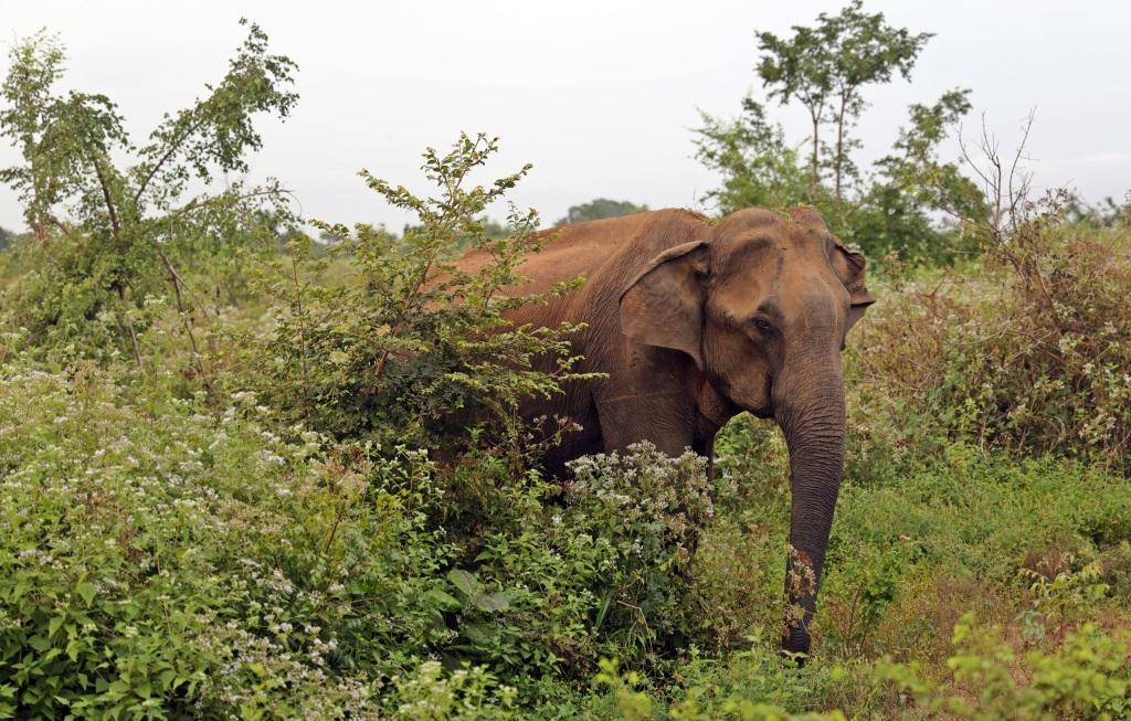 Elephant, Uda Walawe National Park