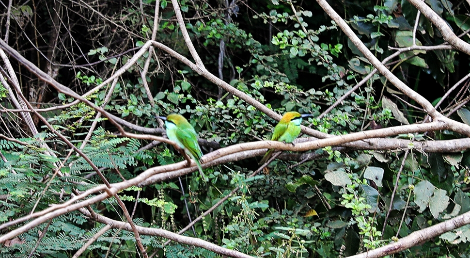 Bee-eater couple, Uda Walawe National Park