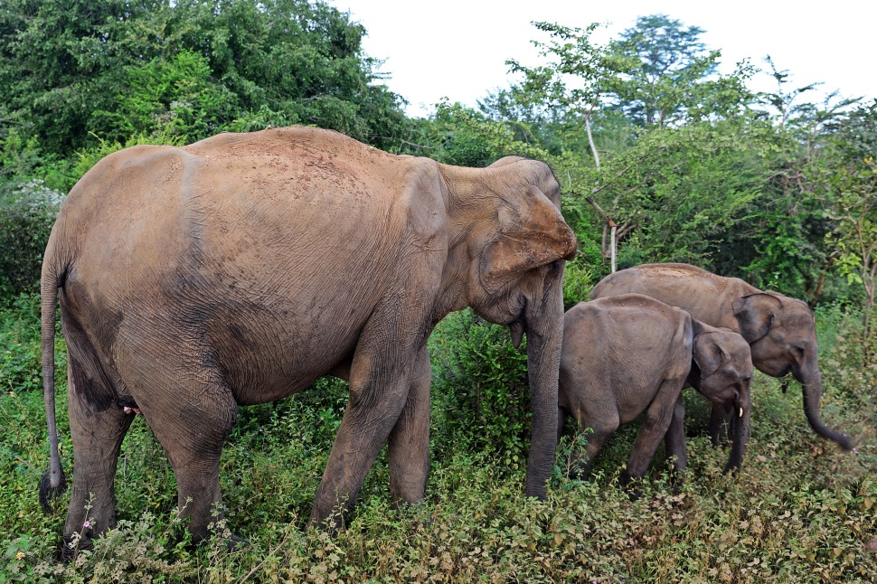 Elephant family, Uda Walawe National Park