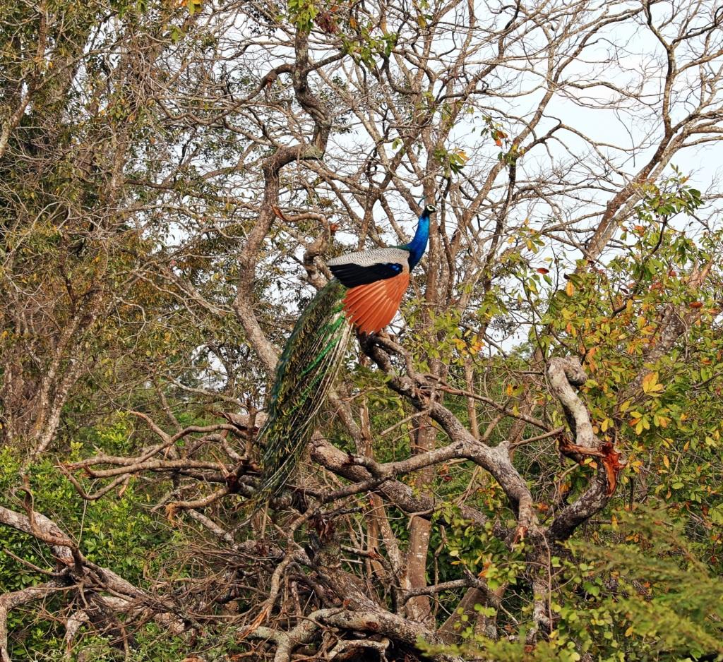 Peacock in a tree, Uda Walawe National Park