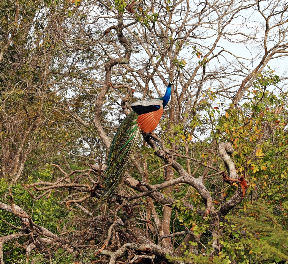 Peacock in a tree, Uda Walawe National Park