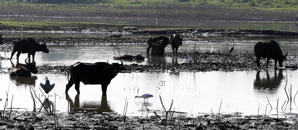 Water Buffalos and Crocodiles, Uda Walawe National Park