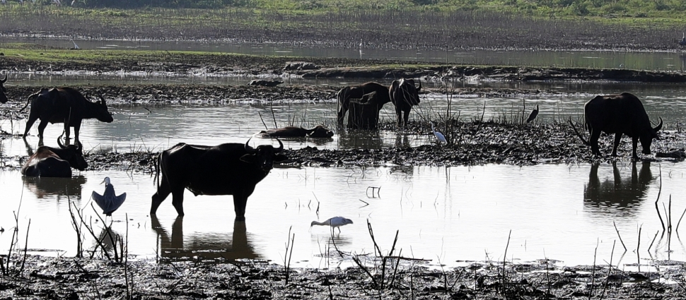 Water Buffalos and Crocodiles, Uda Walawe National Park