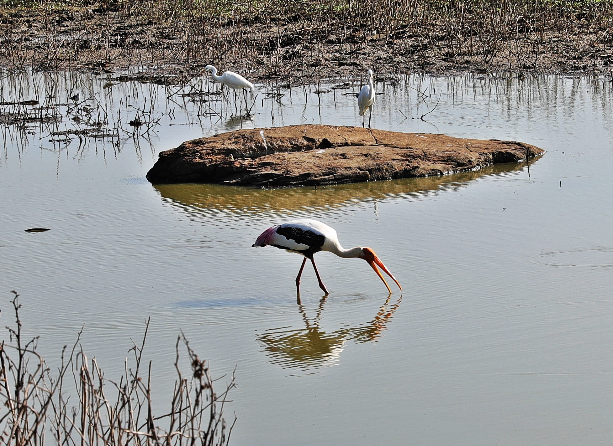 Painted Stork, Uda Walawe National Park