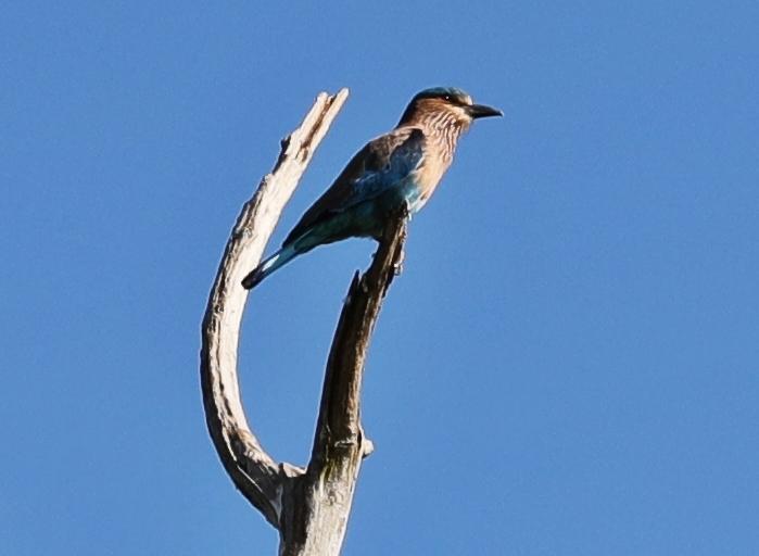 Indian Roller, Uda Walawe National Park