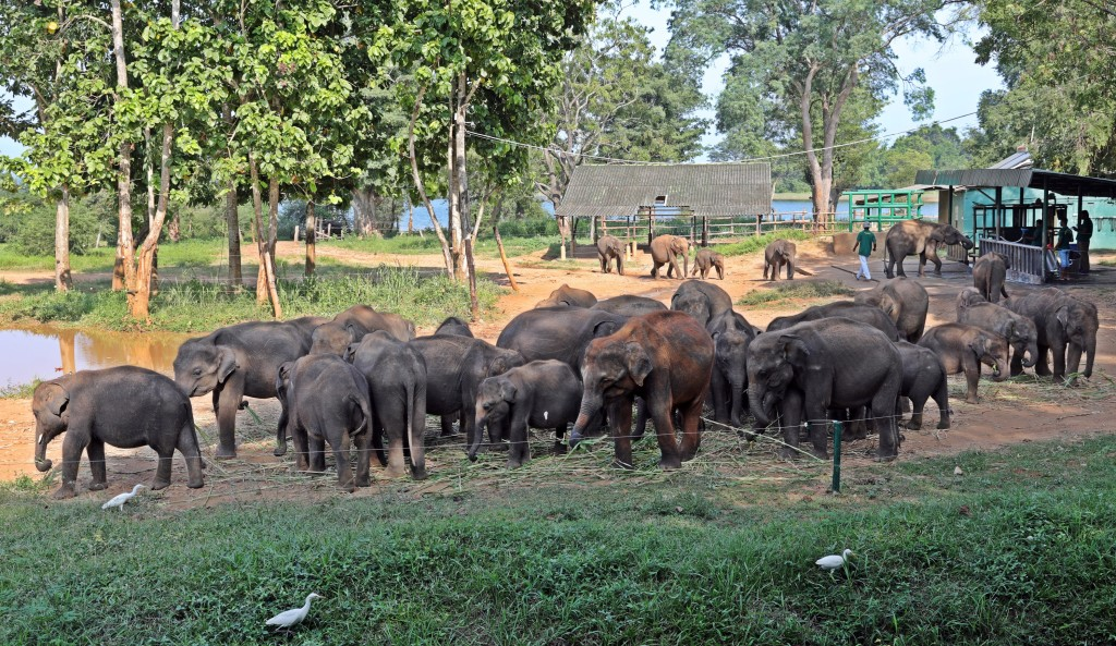 Feeding time at Uda Walawe Elephant orphanage
