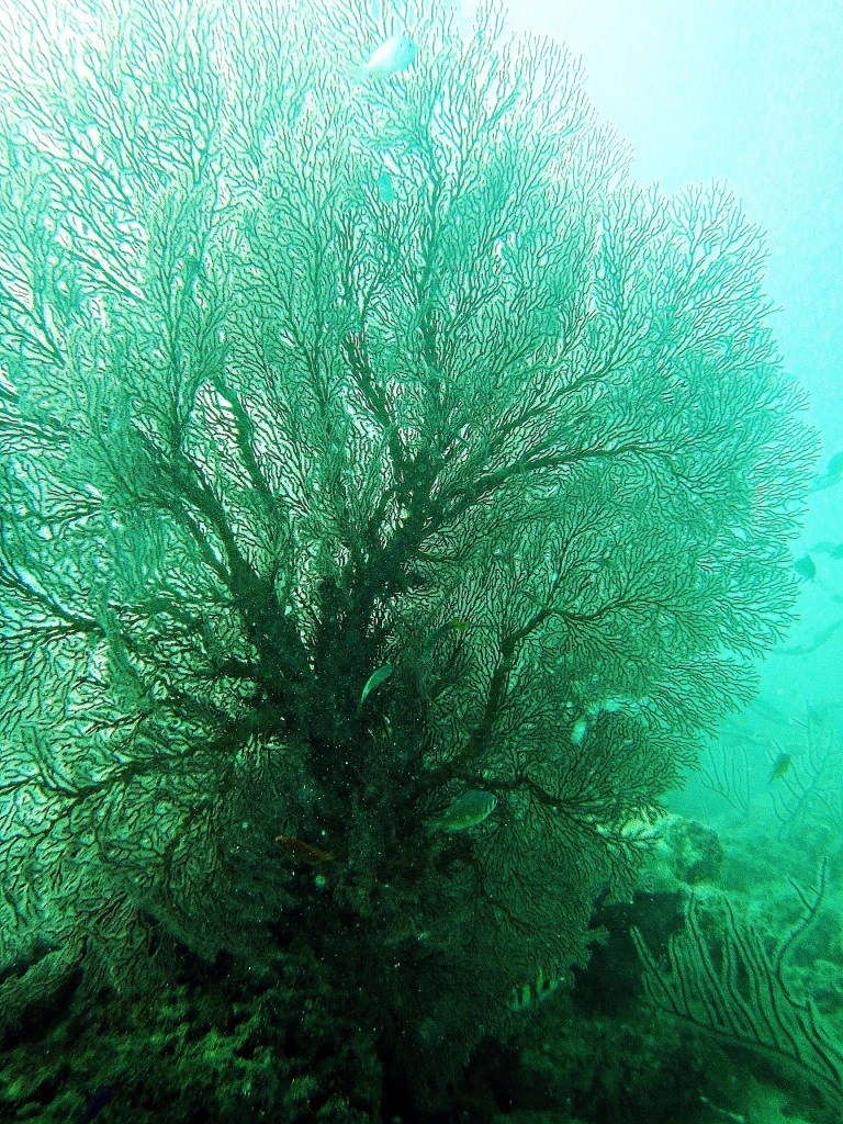 Fan coral, Andaman Islands