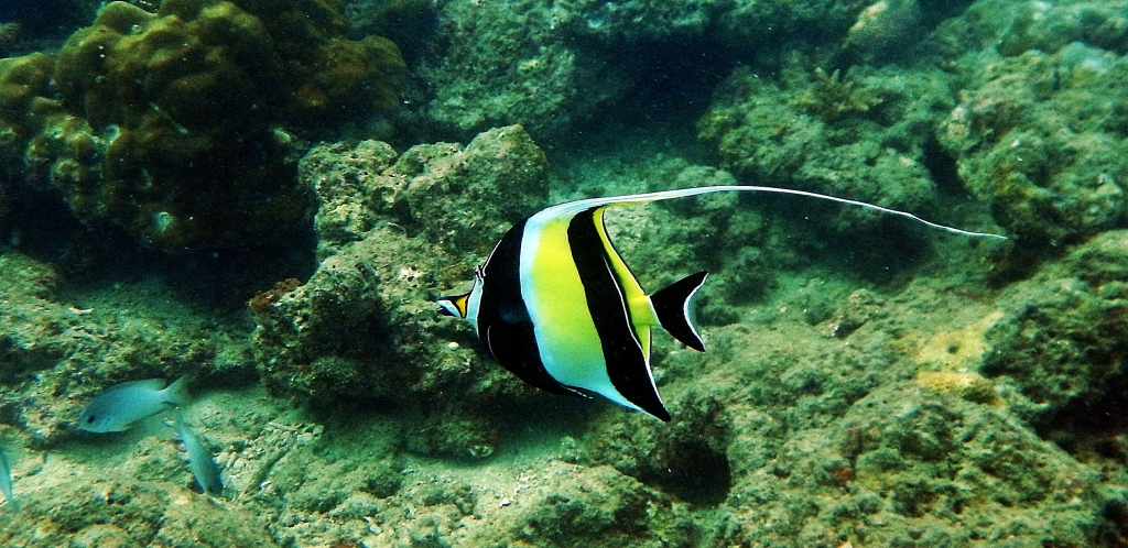 Moorish Idol Fish, Andaman Islands