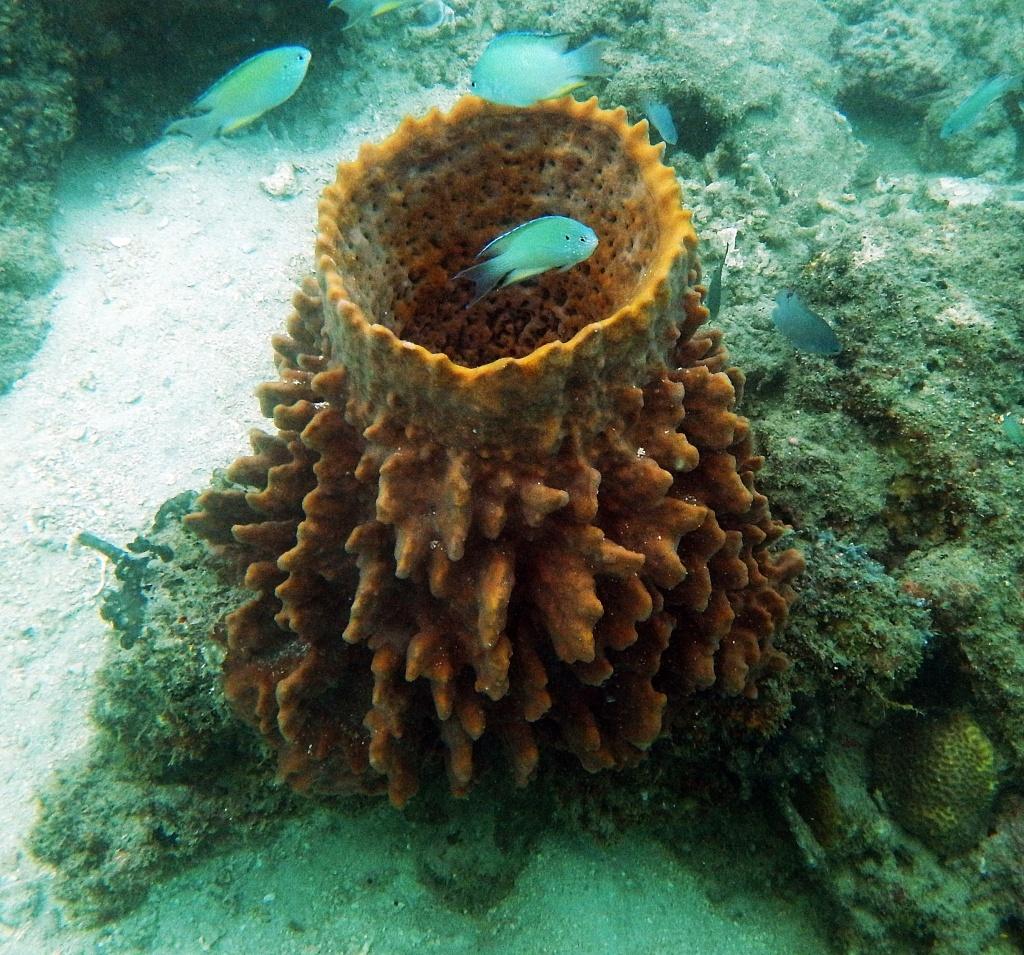 Reef fish inside a sponge, Andaman Islands