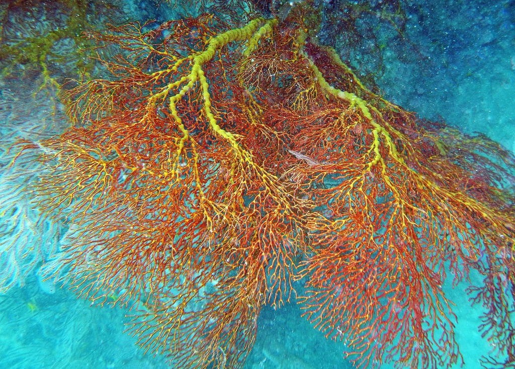 Colourful Fan coral, Andaman Islands