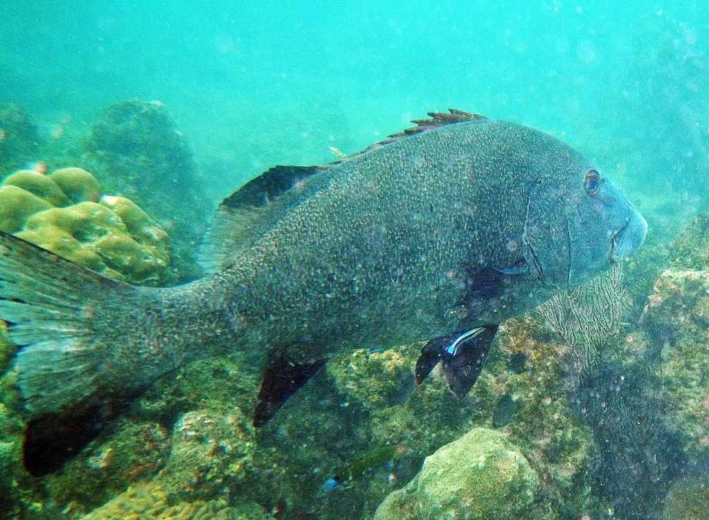 Grouper, Andaman Islands