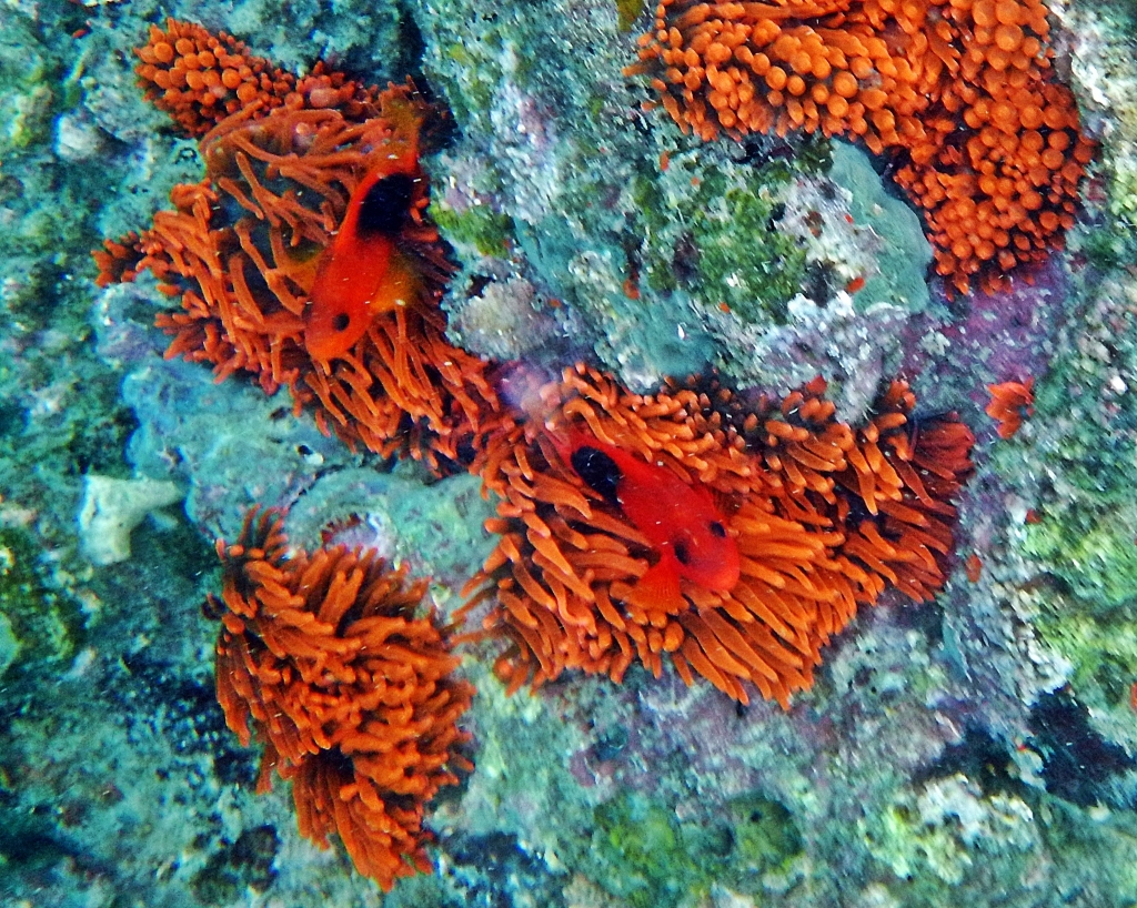 Anemone coral with red Saddleback fish, Andaman Islands
