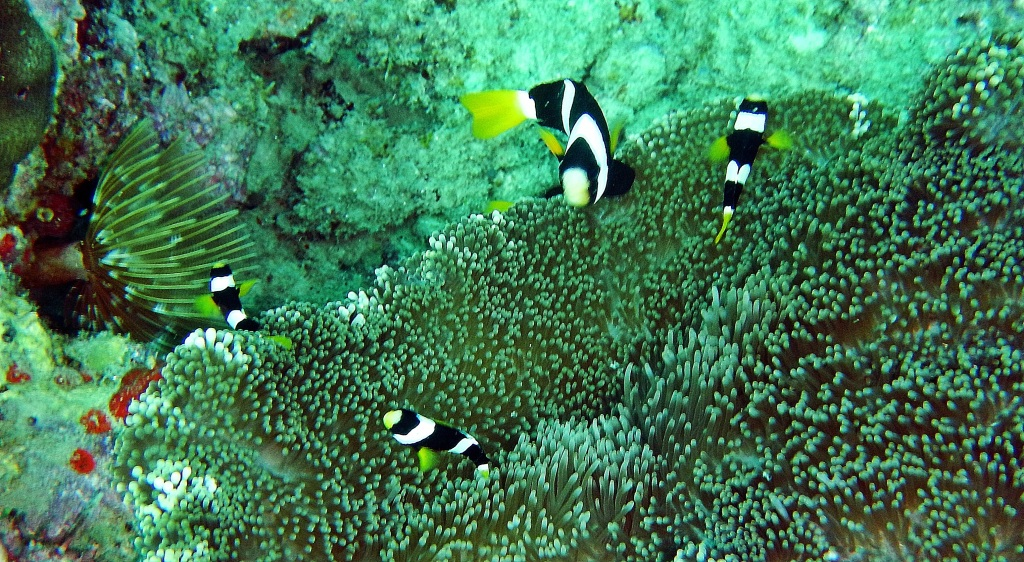 Clark Fish and Anemone, Andaman Islands