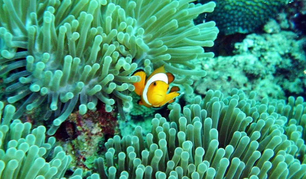 Anemone with a Clown Fish, Andaman Islands