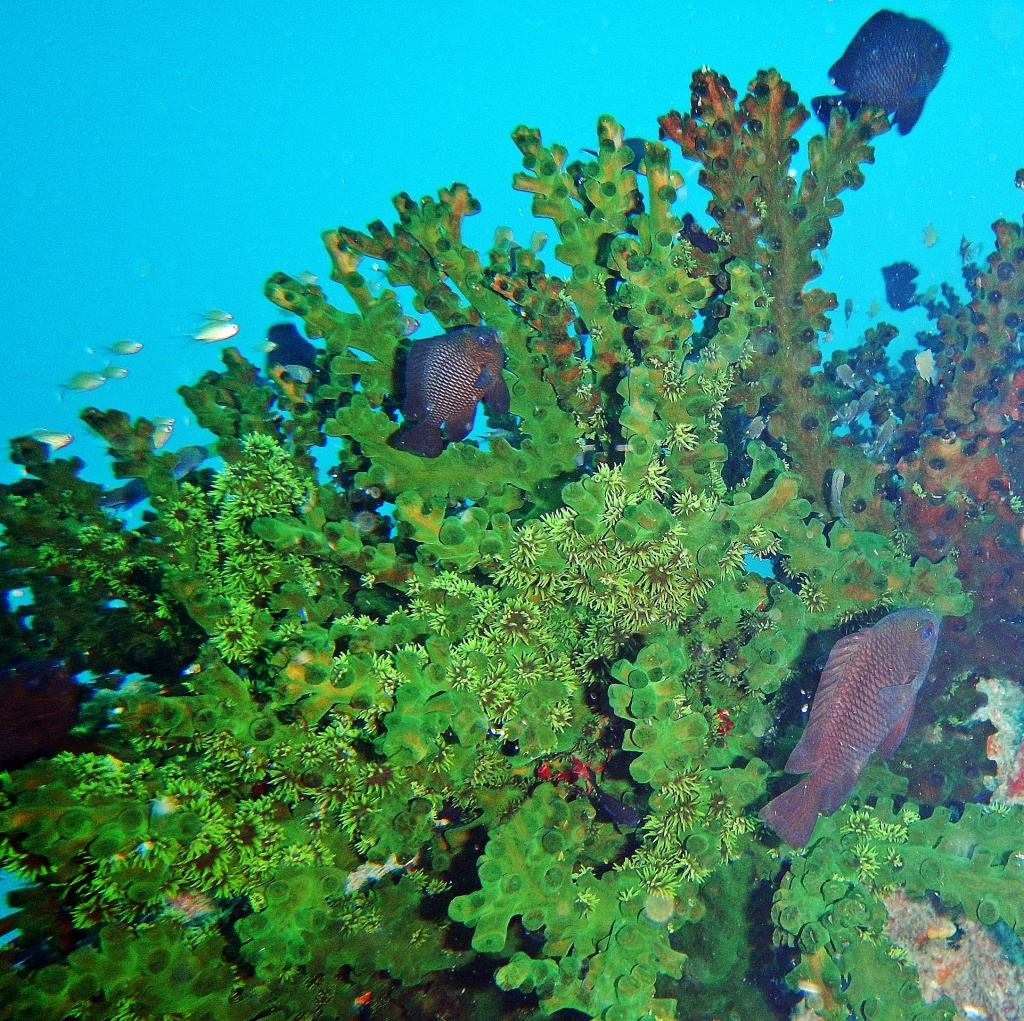 Green coral, Andaman Islands
