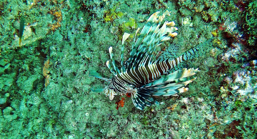 Lion Fish, Andaman Islands